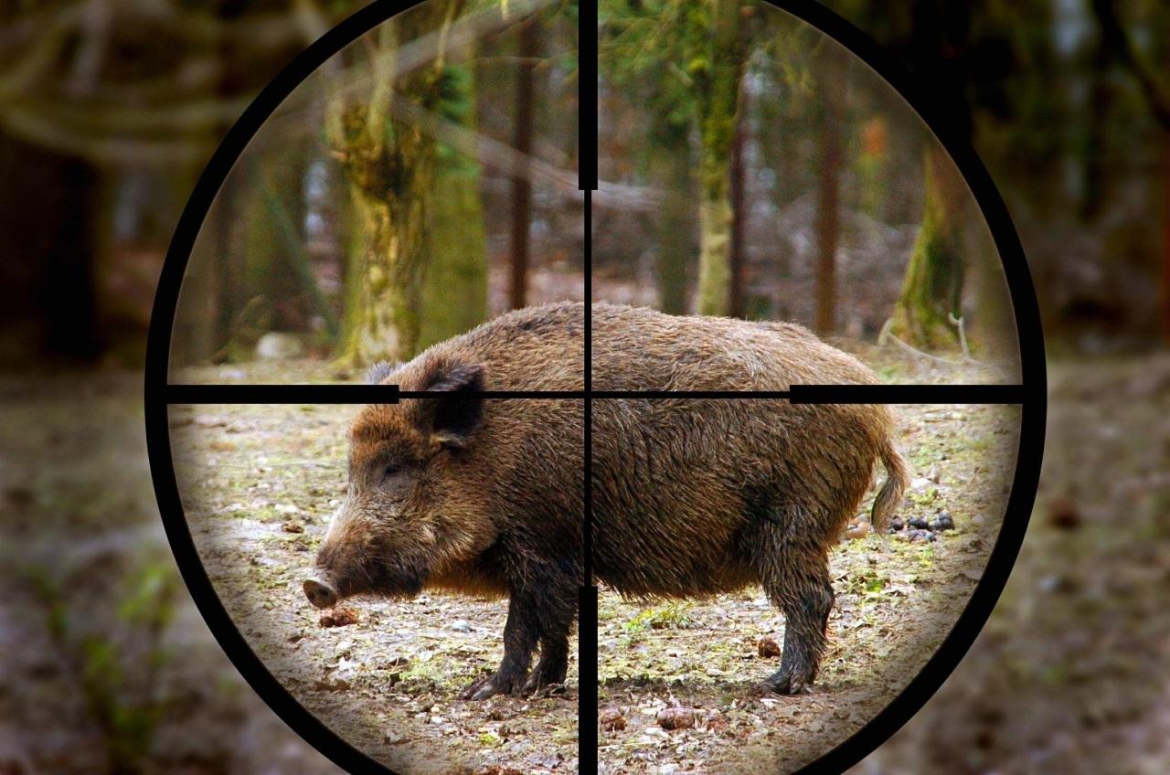 Гайскому браконьеру грозит до полугода тюрьмы за убийство кабана